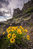 balsamroot flowers at Horsethief Butte